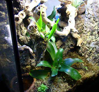 red eyed tree frog tank habitat