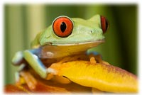 How to Buy a Red Eyed Tree Frog