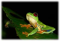 Rainforest Red Eyed Frog