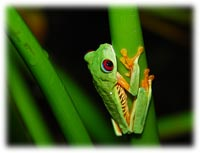 Red Eyed Tree Frog Daily Life